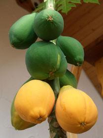 Papaya carica 3jährige Pflanze