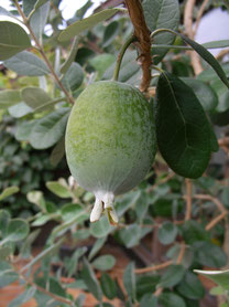 Feijoa (Ananasguave)