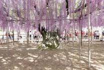 樹齢150年・広さ1,000㎡の大藤棚
