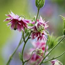 Bio-Blumen-Saatgut