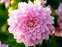 Blumenzwiebeln - Sommerblüher