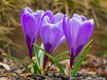 Blumenzwiebeln - Frühjahrsblüher
