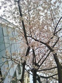 たけさん:新宿の桜