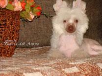 продам щенка китайской хохлатой голая девочка шоколад