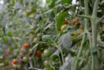 オーガニック野菜販売 無農薬野菜販売 スリーエフ農法の無農薬野菜