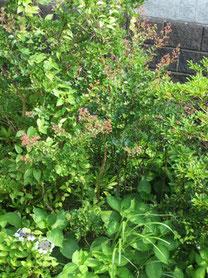 ⑪家の庭*メインは初夏の代表の<紫陽花>から…