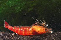 Von Ammoniak reichen schon geringste Mengen aus, um bei Crustaceen Vergiftungen auszulösen.