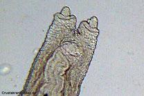 Scutariella sp. japonica, Michael Wolfinger