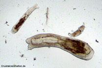 Scutariella,  Saugwurm,
