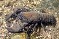 Glockentierchen auf einem europäi- schen Flusskreps Astacus astacus.