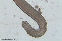 Hakenwürmer können mit ihren...