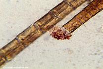 Mikroskopische Aufnahme eines abgebrochenen Fühlers einer Garnele. Es ist gut zu erkennen, wie die Hämolymphe (Blutflüsigkeit) an der Bruchstelle entweicht.