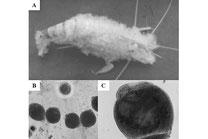 Chytridiomycetes Pilzinfektion bei einer Macrobrachium rosenbergii über den gesamten Körper (A). Mikroskopische Aufnahme des Chytridpilz Vergrößerung von 100x (C) und 400x (B). Foto: Journal of Aquaculture Research Development