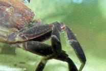 Sehr häufig sind Cilliaten auf dem Panzer von Tieren in organisch belasteten Gewässern zu finden.