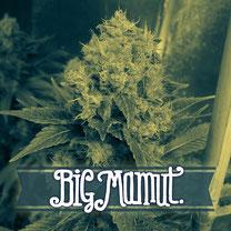 Semillas marihuana BIg Seeds Big mamut en Cactus Martorell groshop Barcelona