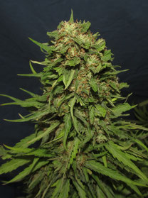 foto cogollo marihuana big mamut banco de semillas big seeds