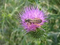 Bienen mögen auch Disteln