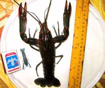 Cherax quadricarinatus (Рак австр. красноклешневый) 15-20 см