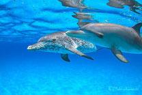 バハマドルフィンスイムクルーズツアー:バハマの海でイルカと泳ぐドルフィンスイムツアー