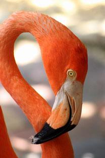 Flamingo  - Urlaub Curacao