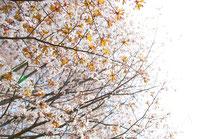 日本 北海道 札幌 明るくまぶしい桜