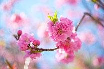 鮮やかな桜4
