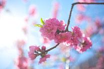 鮮やかな桜5