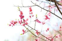 平岡公園の紅梅