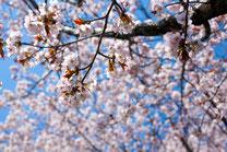 日本 北海道 札幌 櫻の花