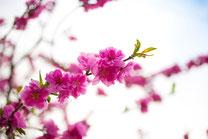 鮮やかな桜1