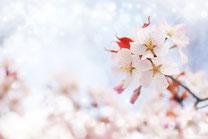 キラふわの桜