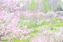 日本 北海道 札幌 平岡公園 Meiyuan of Xanadu
