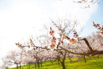 梅林公園の白梅