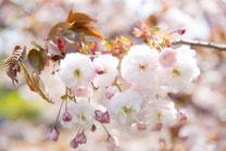 日本 北海道 札幌 さくらの花