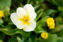 花開くチューリップ