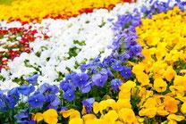 パンジーの花畑