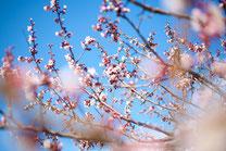 日本 北海道 札幌 紅梅のイメージ