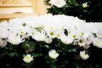 葬儀場の白菊