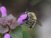 Frühlings-Pelzbiene (Anthophora plumipes) (m). Foto: Jann Wübbenhorst/naturgucker.de