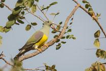 Colombar waalia oiseau Sénégal Afrique Stage Photo J-M Lecat Non libre de droits