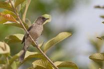 Bulbul des jardins oiseau Sénégal Afrique Stage Photo J-M Lecat Non libre de droits