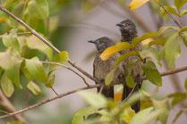 Cratérope brun oiseau Sénégal Afrique Stage Photo J-M Lecat Non libre de droits