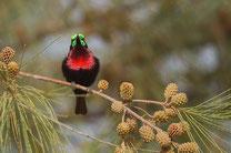 Souimanga à poitrine rouge oiseau Sénégal Afrique Stage Photo J-M Lecat Non libre de droits