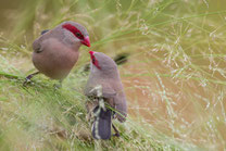 Astrild cendré oiseau Sénégal Afrique Stage Photo J-M Lecat Non libre de droits