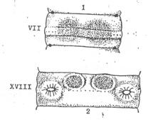 ハタイミミズの雄性孔と外部表徴