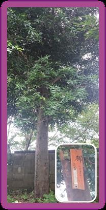 『那須与一』公が手植えしたと伝わる梛の木【二代目】 @田辺市長野地区 不動寺