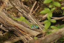 Naturjuwele Ostösterreichs - Smaragdeidechse