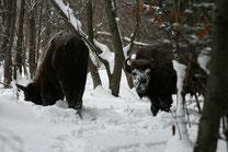 Schnee-Safari in den Waldkarpaten (Bild: Wojciech Juda)