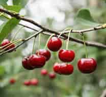вишневий сад , вишневому саду