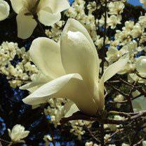 春に白い花が咲く木 名前